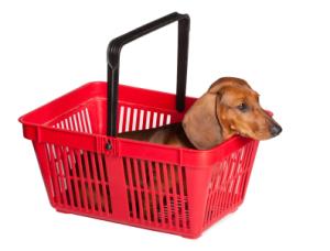 dashshund puppy sitting in a red cart